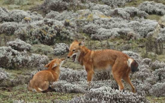 Äthiopischer Wolf in den Bale Mountains